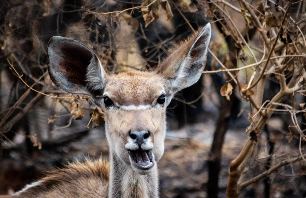 Deer eat woody browse, forbs, grasses nuts and fruit, and even mushrooms.