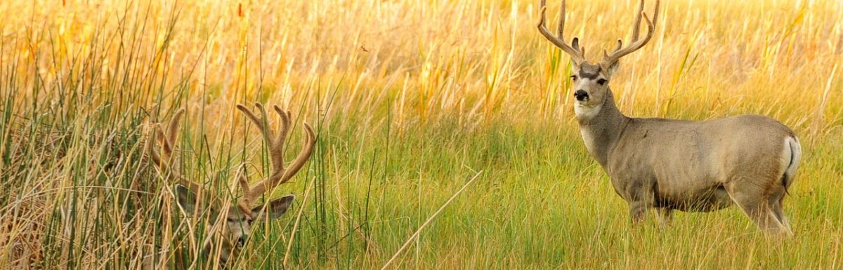 How to Hunt Mule Deer with a Bow