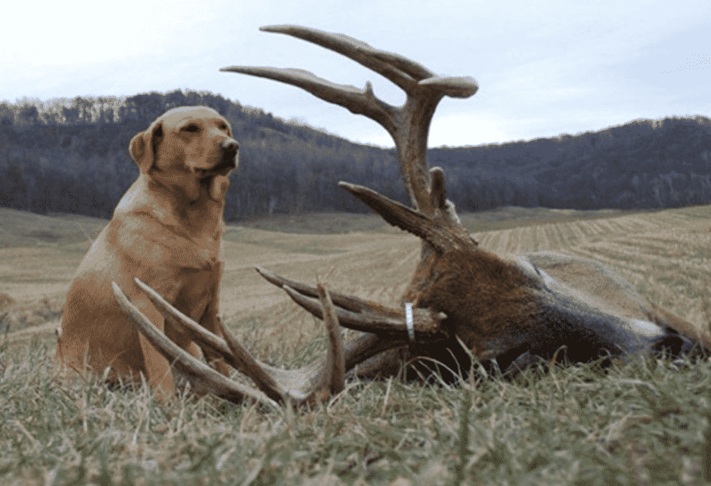 A hunter dog with a killed deer
